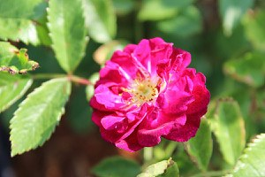 Rose Perennial Blue® (im grossen Container)