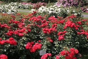Rose Planten un Blomen® (im grossen Container)