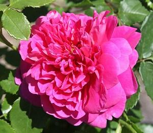 Rose Princess Anne (im grossen Container)