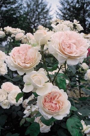 Rose Sebastian KNEIPP® (im grossen Container)