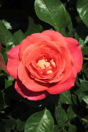 Rose Sommersonne® (im grossen Container)
