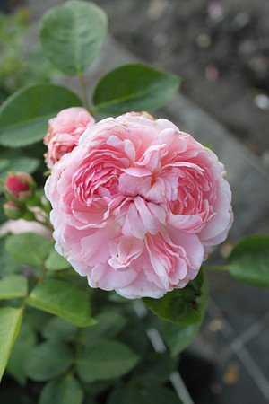 Rose St. Swithun® (im grossen Container)