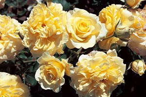 Rose Sterntaler® (im grossen Container)
