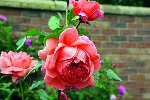 Rose Summersong® (im grossen Container)