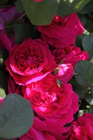 Rose Tess of the d'Urbervilles® (im grossen Container)