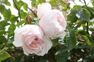 Rose The Generous Gardener® (im grossen Container)