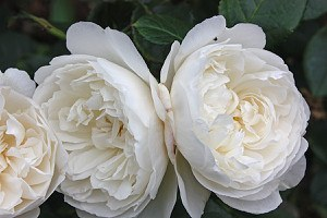 Rose William and Catherine (im grossen Container)