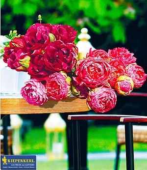ROSEN-Tulpen-Raritäten,10 Zwiebeln