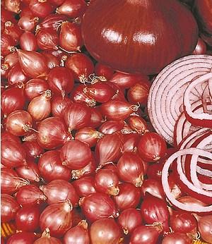 """Rote Steckzwiebeln """"Red Baron"""",75 Stück Pflanzzwiebel Speisezwiebel"""