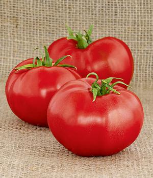 "Rote Tomate ""Berner Rose"",1 Pflanze"
