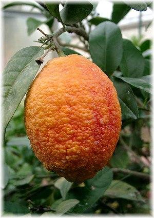 Rote Zitrone Citrus limon ´Rosso`