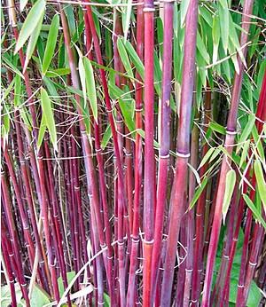 "Roter Bambus ""Chinese Wonder"",1 Pflanze"