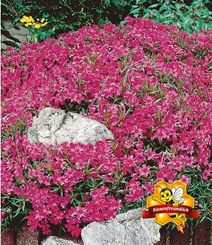 Roter Teppich-Phlox,3 Pflanzen
