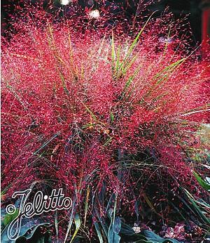 Rotes Liebesgras, 3 Pflanzen