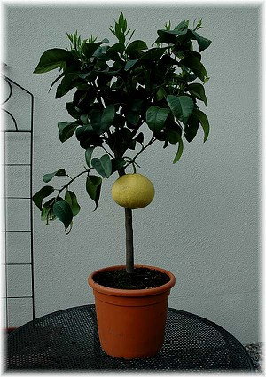 Rotfleischige Grapefruit Citrus paradisi ´Star Ruby`