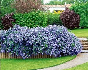 Säckelblume Ceanothus'Blue Fashion', 3 Pflanzen