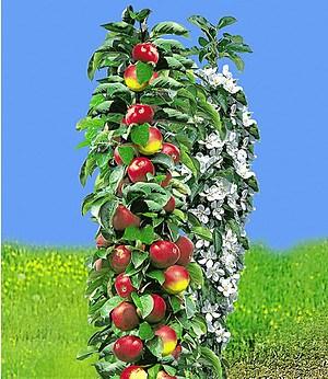 "Säulen-Apfel ""Red River®"",1 Pflanze"