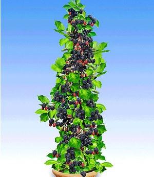 "Säulen-Brombeere Navaho® ""Big&Early"",1 Pflanze"