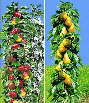 Säulen-Obst Kollektion Birne & Apfel,2 Pflanzen