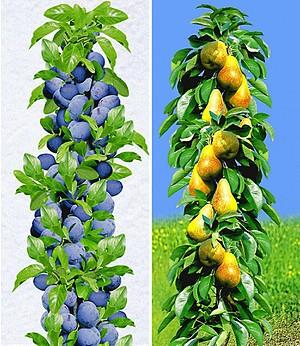 Säulen-Obst-Kollektion Birne & Zwetschge,2 Pflanzen