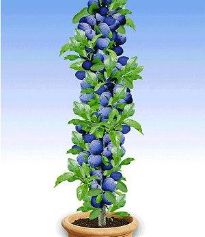 """Säulen-Pflaume """"Black Amber"""",1 Pflanze"""