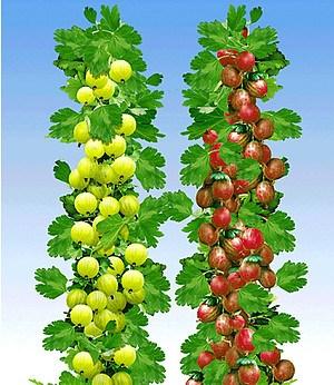 Säulen-Stachelbeeren Kollektion,2 Pflanzen