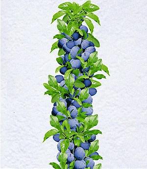 """Säulen-Zwetschge """"Anja®"""",1 Pflanze"""