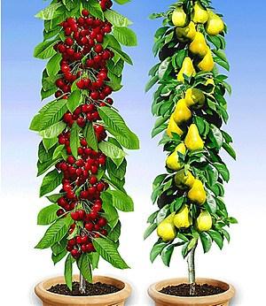 """Säulenobst-Duo """"Birne & Kirsche"""",2 Pflanzen"""