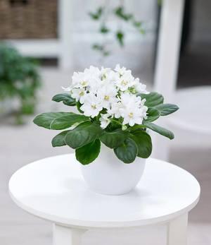 """Saintpaulia Usambaraveilchen """"Weiß"""",1 Pflanze"""
