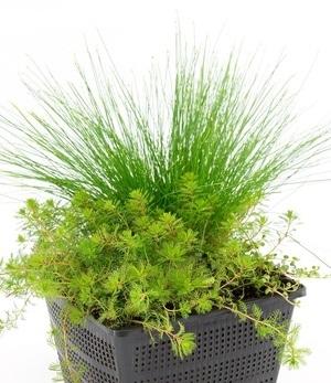 Sauerstoff-Teichpflanzen im Korb,1 Set