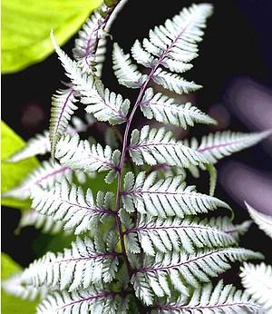 """Schmuck-Farn """"Silver Falls®"""",1 Pflanze"""