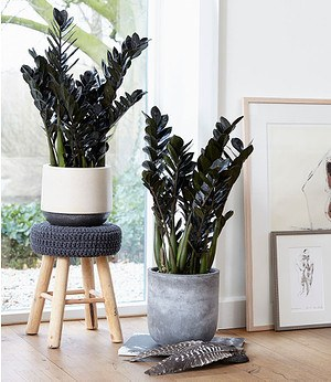 Schwarze ZamioculcasRaven,1 Pflanze
