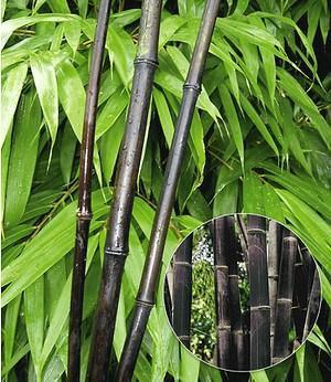 "Schwarzer Bambus ""Black Bamboo"",1 Pflanze"