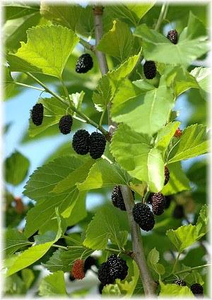 Schwarzer Maulbeerbaum Morus nigra
