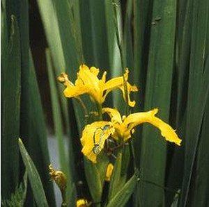 Schwertlilie, Iris, Gelbe Sumpf-Schwertlilie