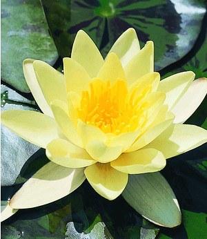 """Seerose (Nymphaea) """"Goldgelb"""",1 St. Wasserpflanzen Teichpflanzen"""