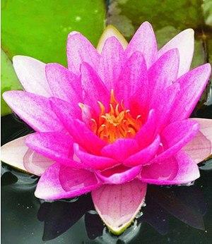 """Seerose (Nymphaea) """"Pink"""",1 St. Wasserpflanze Teichpflanze"""