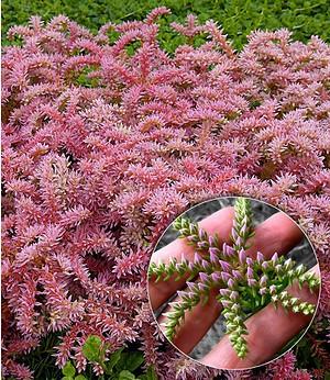 Seestern-Blume,3 Pflanzen