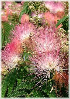 Seidenbaum Albizia julibrissin