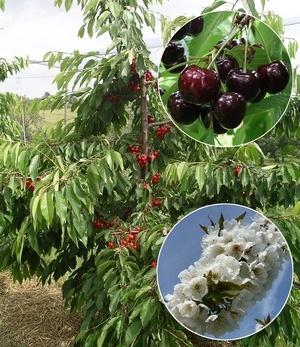 Selbstfruchtende Süßkirsche Swing,1 Pflanze