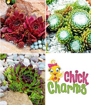 Sempervivum-Mix Chick Charms®,3 Pflanzen