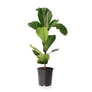 Sense of Home Ficus lyrata ohne Übertopf