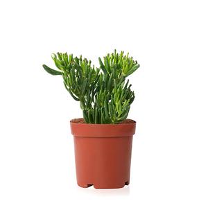 Sense of Home Zimmerpflanze Geldbaum