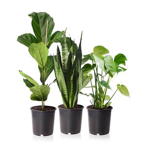 Sense of Home Zimmerpflanzen-SetUrban Jungle ohne Übertöpfe