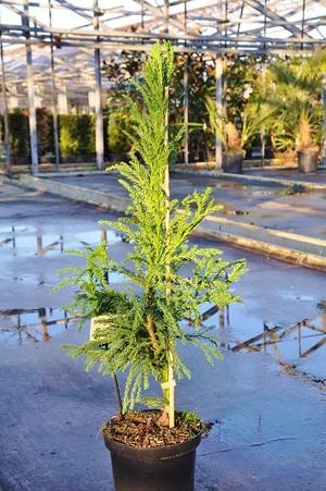 Sicheltanne (Japanische Zeder) 60-70 - Cryptomeria japonica Cristata