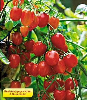 Snack-Tomate Romello F1 2 Pflanzen Kirschtomaten