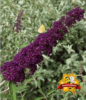 "Sommerflieder ""Nanho Purple""; 1 Pflanze"