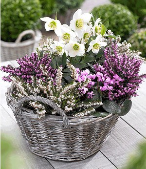 Sortiment Winterzauber,4 Pflanzen
