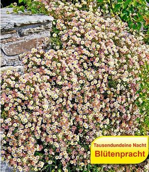 Spanisches Gänseblümchen,3 Pflanzen