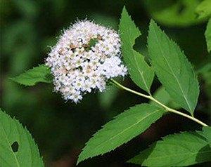 Spierstrauch, Zwergspiere 'Albiflora'